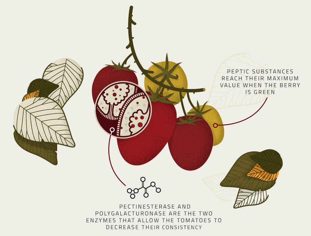 Ripening illustration - Tomato's Production Process