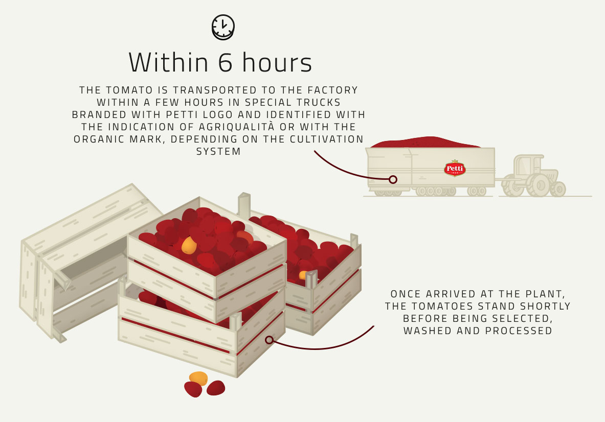 Harvest and Transportation illustration- Tomato's Production Process