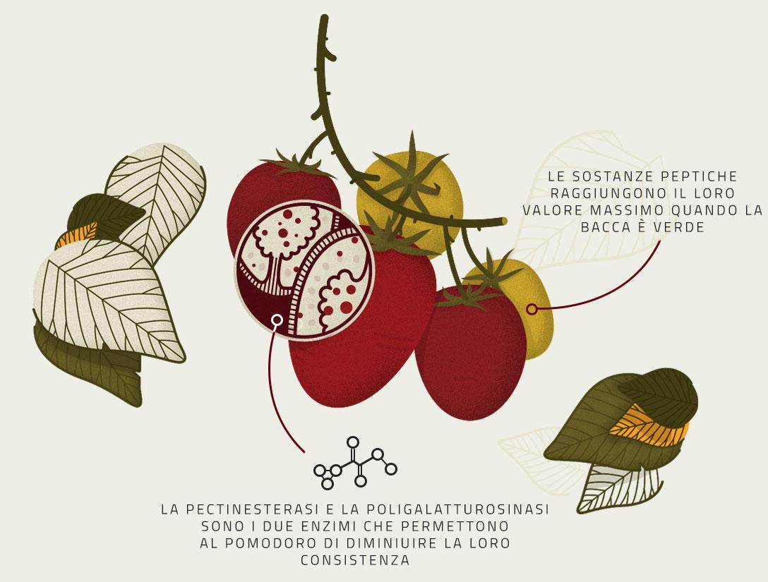 Infografica della Maturazione del Pomodoro