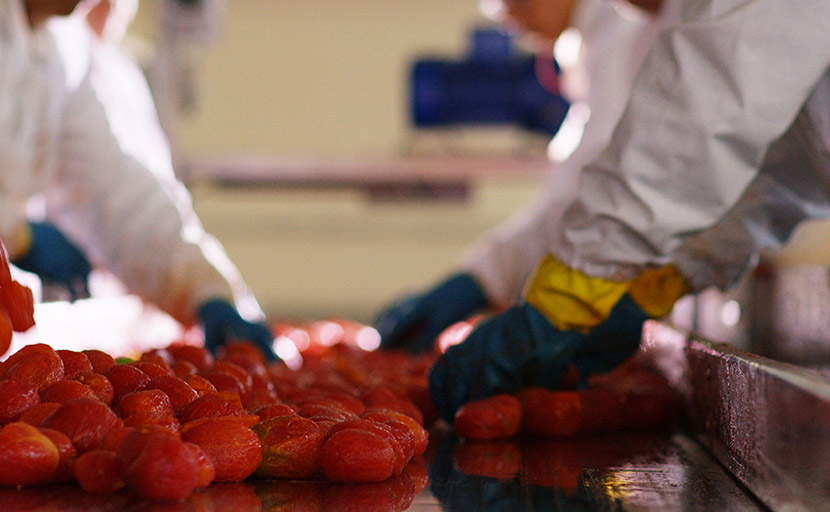 Detail of manual sorting of tomatoes after he was thoroughly scalded and skinned